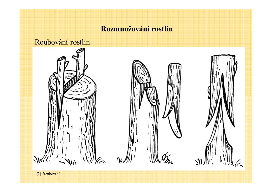 Rozmnožování rostlin Roubování rostlin [9] Roubování